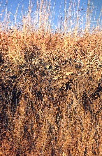 Prairie grass roots / Puffin.creighton.edu